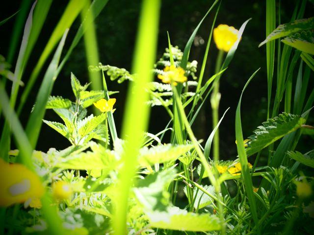 Helen Birch photo buttercups in bright light dark background